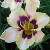 Photo Courtesy of Cheryl's Daylilies. Used with Permission