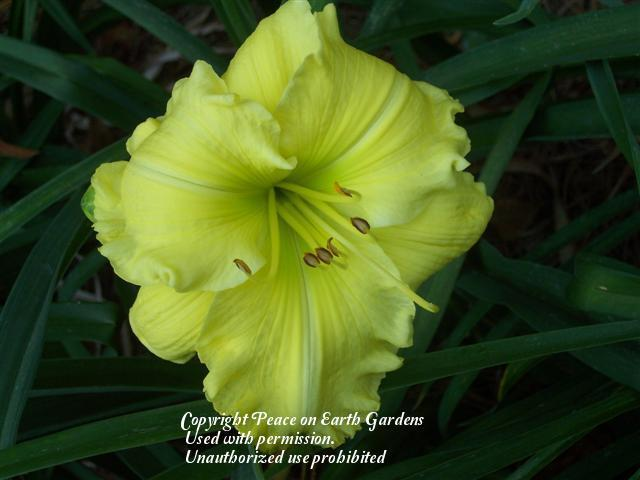 Photo of Daylily (Hemerocallis 'Ruffled Perfection') uploaded by vic