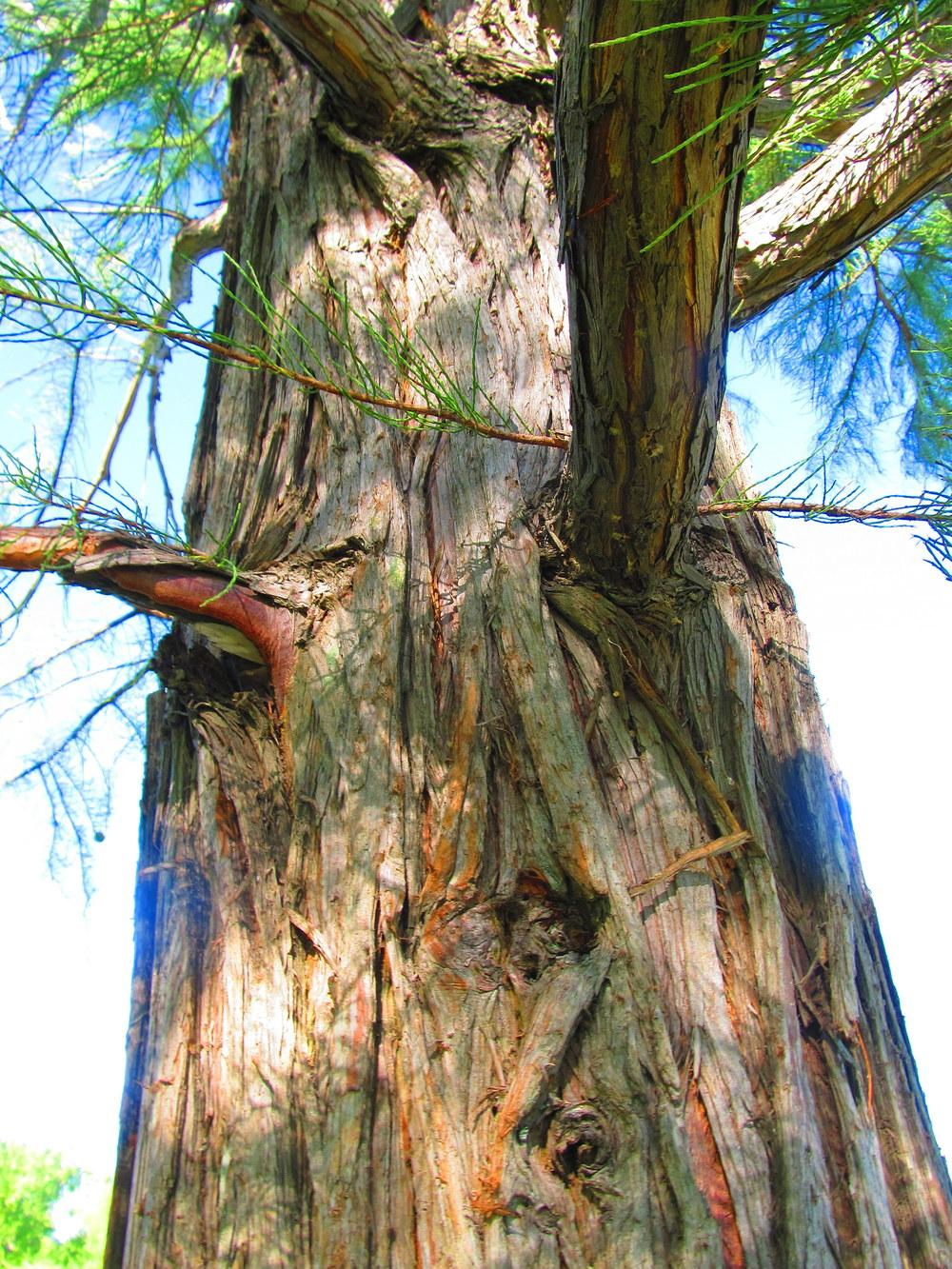 Photo of Bald Cypress (Taxodium distichum) uploaded by jmorth