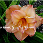 Photo Courtesy of Garden Perennials. Used with Permissi