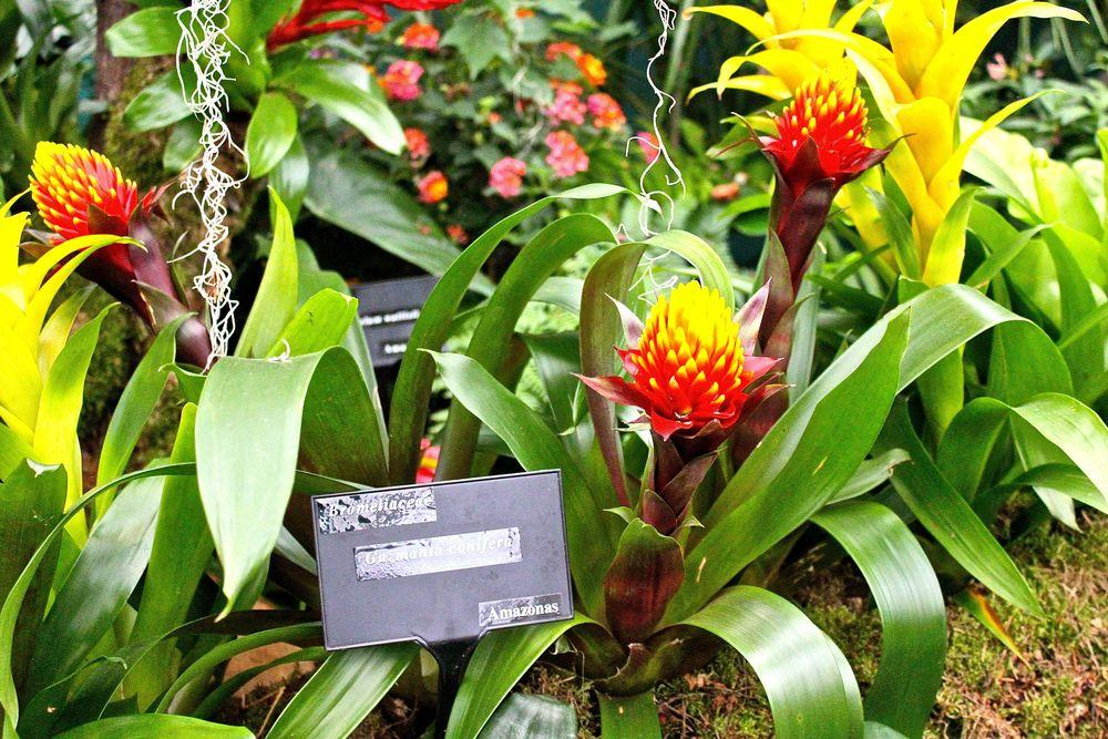 Photo of Tufted Airplant (Guzmania conifera) uploaded by NEILMUIR1