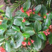Location: Daytona Beach, FloridaDate: 2011-05-31 Unknown Dragon Wing Begonia