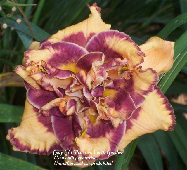 Photo of Daylily (Hemerocallis 'Turning Up the Heat') uploaded by vic