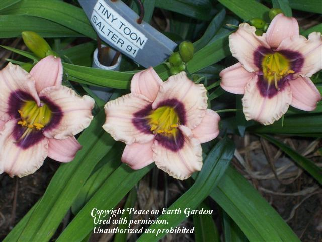 Photo of Daylily (Hemerocallis 'Tiny Toon') uploaded by vic