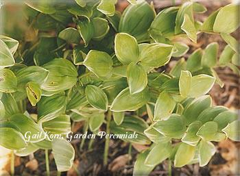 Photo of Solomon's Seal (Polygonatum odoratum var. pluriflorum 'Variegatum') uploaded by Joy