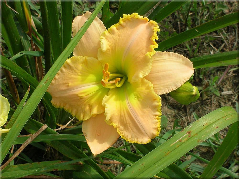 Photo of Daylily (Hemerocallis 'All the Magic') uploaded by vic