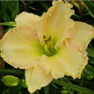 Courtesy of Quarles Daylilies Used with Permission