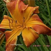 Photo Courtesy of Island Daylily Farm. Used with Permission.