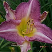 Photo Courtesy of Island Daylily Farm. Used with Permis