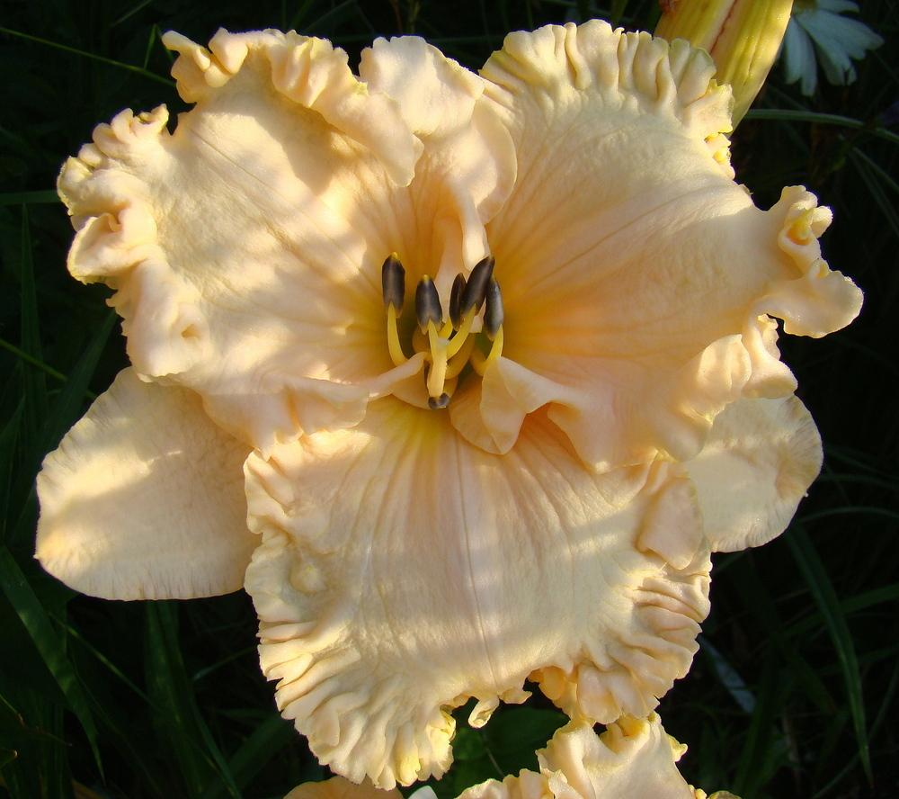 Photo of Daylily (Hemerocallis 'Spacecoast Cream Supreme') uploaded by nh4me