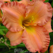 Photo Courtesy of Daylily Sweetheart. Used with Permiss