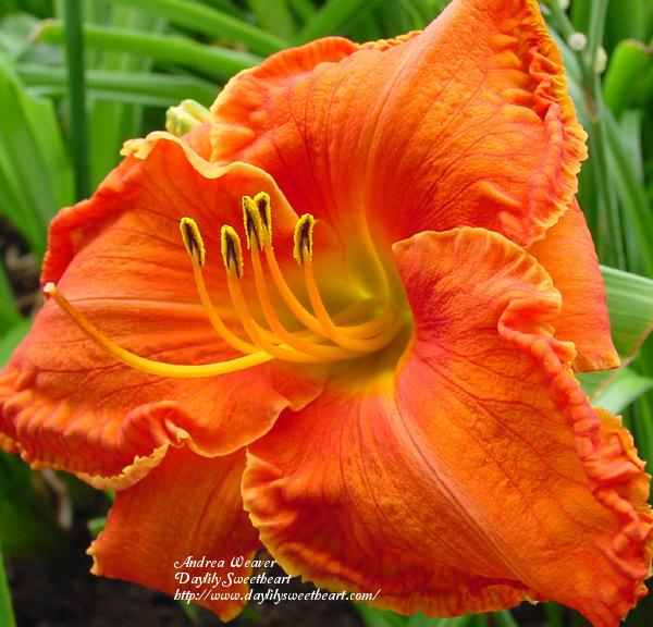 Photo of Daylily (Hemerocallis 'Council Fire') uploaded by Joy