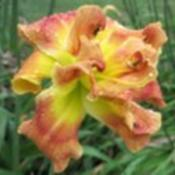 Photo Courtesy of Strongs Daylilies. Used with Permission.