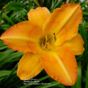 Photo Courtesy of Daylily Sweetheart. Used with Permission.