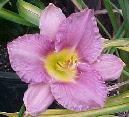 Photo of Daylily (Hemerocallis 'British Sterling') uploaded by Joy