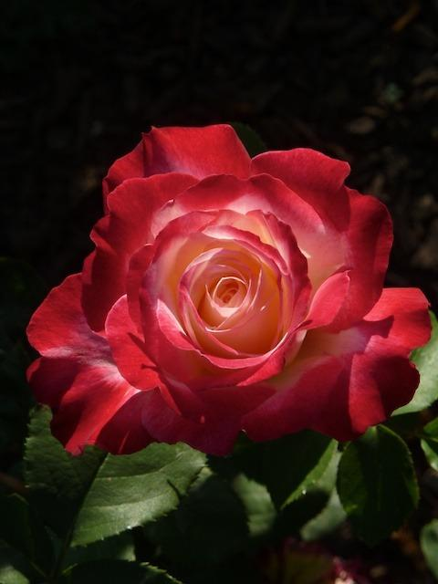 Photo of Rose (Rosa 'Double Delight') uploaded by Steve812