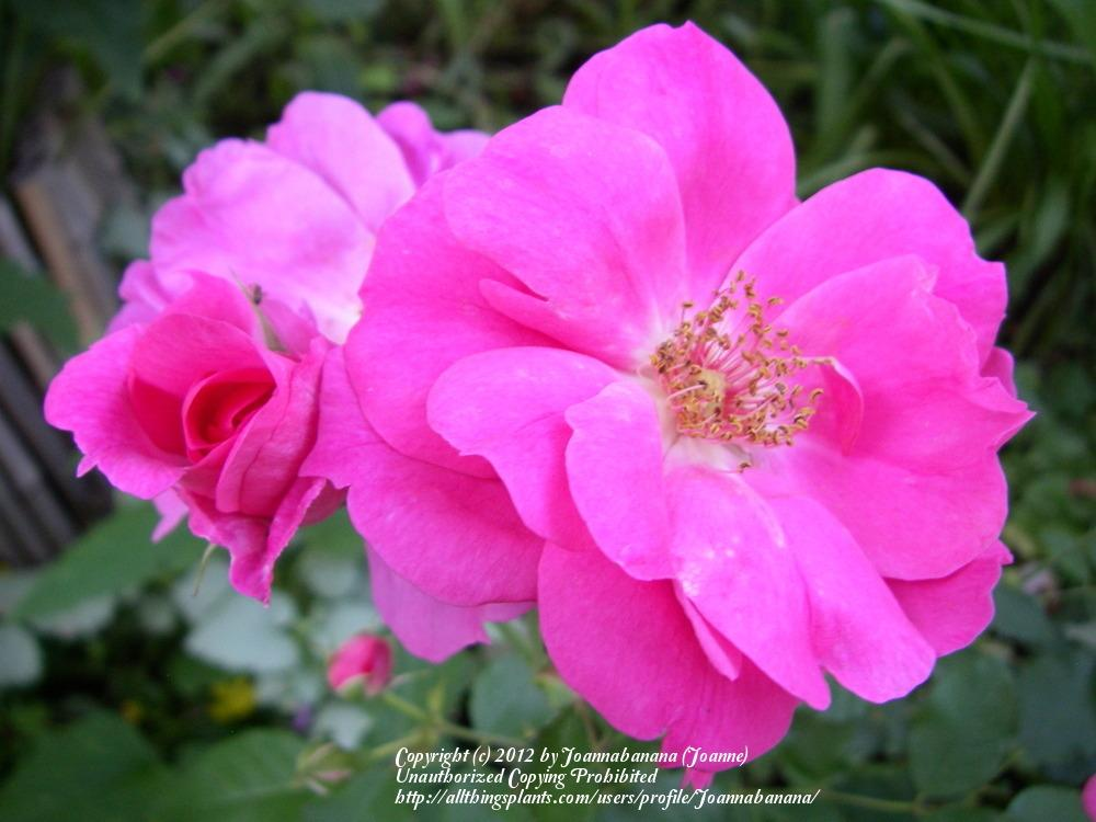 Photo of Rose (Rosa 'Frontenac') uploaded by Joannabanana