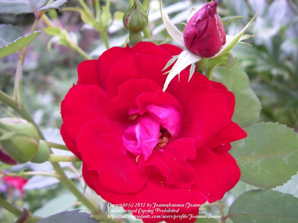 Photo of Rose (Rosa 'Morden Cardinette') uploaded by Joannabanana