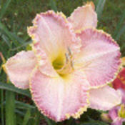 Photo Courtesy of Strongs Daylilies. Used with Permissi