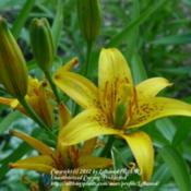 Location: MinnesotaDate: 2011-07-08Flowers and Buds. This type formerly known as L. concol