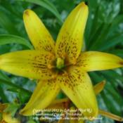 Location: MinnesotaDate: 2011-07-08This type formerly known as L. concolor var. coridion