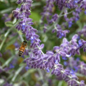 Date: 2012-08-14#Pollination #Bee  The bees adore it!