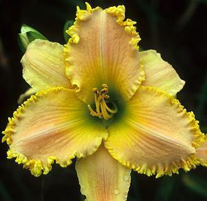 Photo of Daylily (Hemerocallis 'Good Morning Beautiful Day') uploaded by Joy