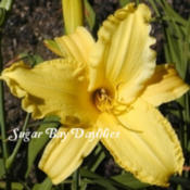 Photo Courtesy of Sugar Bay Daylilies. Used with Permission.