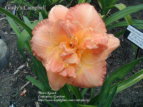 Photo of Daylily (Hemerocallis 'Gladys Campbell') uploaded by Joy