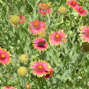 Location: MeadowDate: 2012-05-16Texas Native Indian Blanket