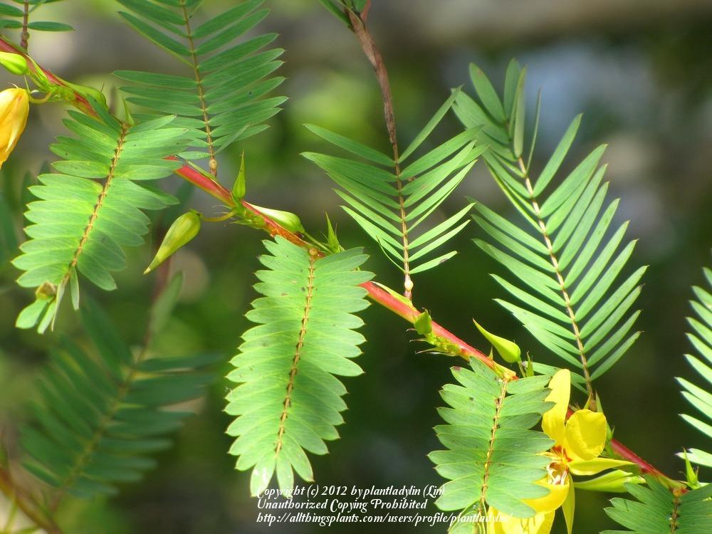 Photo of Partridge Pea (Chamaecrista fasciculata) uploaded by plantladylin