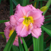 Image Courtesy of Canning Daylily Gardens Used with Permission