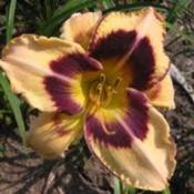 Image Courtesy of Canning Daylily Gardens Used with Per