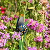 Location: Backyard MeadowDate: 2012-06-21Pipevin Swallowtail nectaring on Native Horsemint