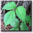 Control Those Weeds: Poison Ivy