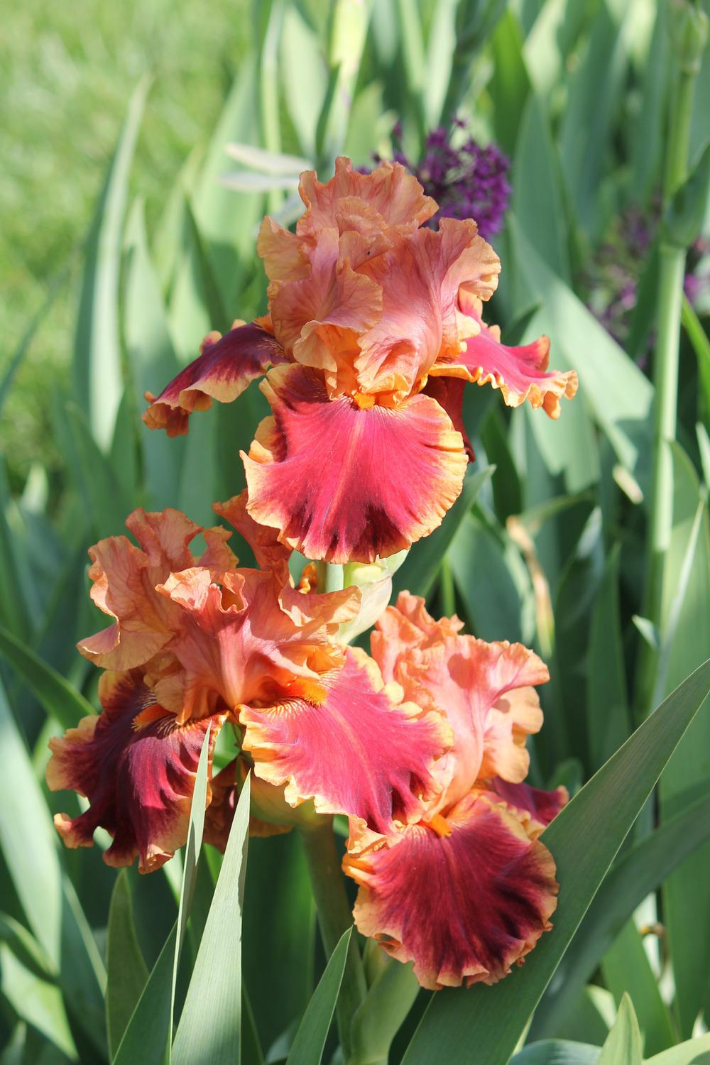 Photo of Tall Bearded Iris (Iris 'Drinks at Sunset') uploaded by ARUBA1334