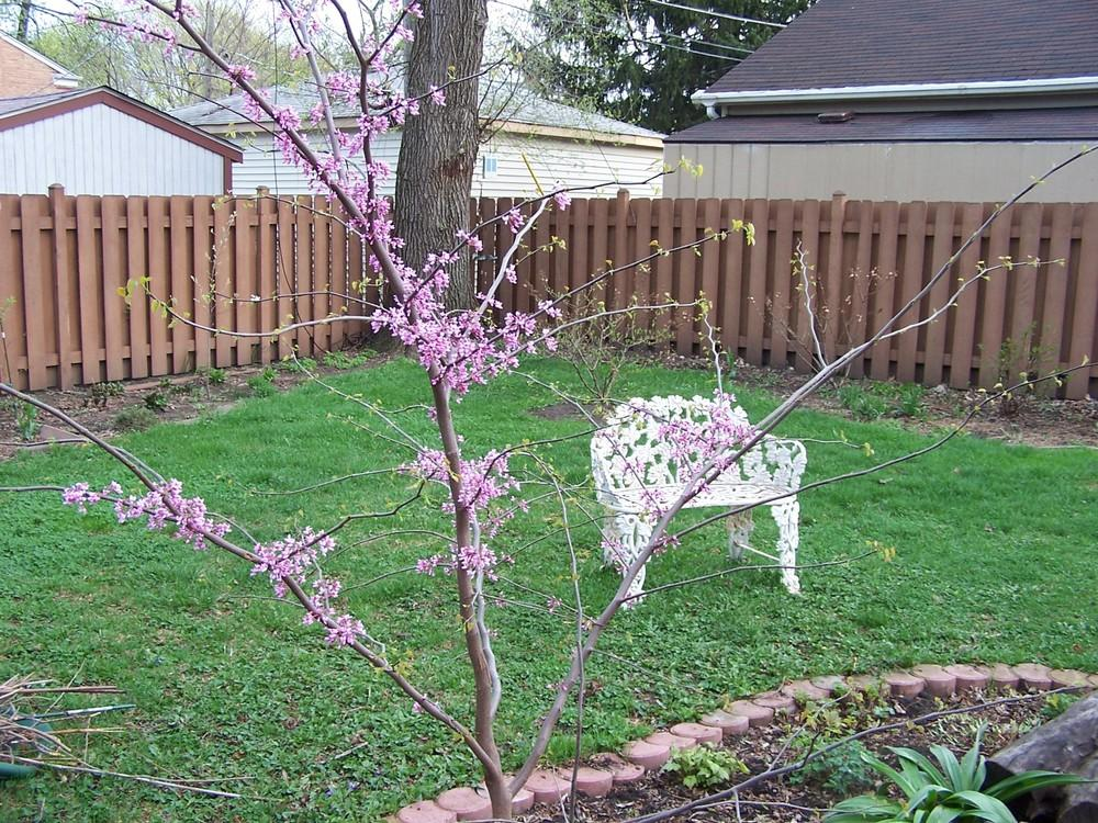 Photo of Eastern Redbud (Cercis canadensis) uploaded by sherrilosee