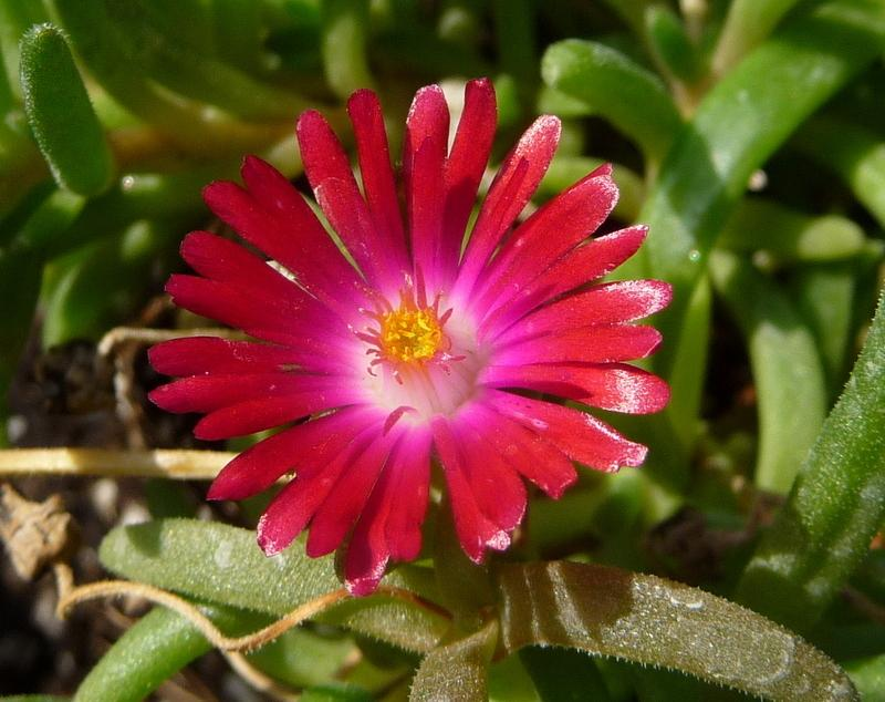 Photo of Delosperma 'Rise and Shine' uploaded by gardengus