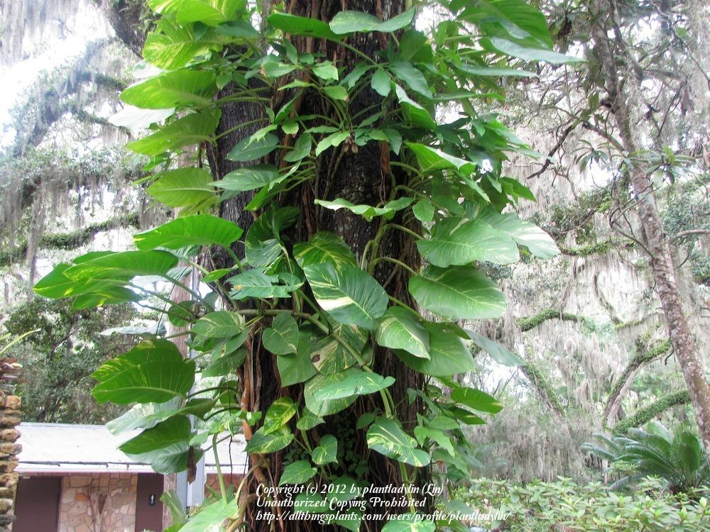 Photo of Pothos (Epipremnum aureum) uploaded by plantladylin