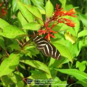 Location: Daytona Beach, FloridaDate: 2012-08-22 Zebra Longwing Butterfly enjoying the nectar of Firebus