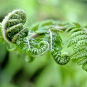 Location: My garden.Date: 2012-08-24One of my baby ferns unfolding!