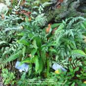 Location: z6a, Smith College Botanical GardenDate: 2012-08-23Intermingled with Japanese Painted Fern.