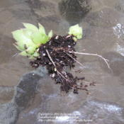 Location: My Cincinnati Ohio gardenDate: July 2012Wintersown seedling with healthy roots