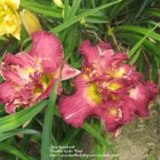 Photo Courtesy of Daylilies by the Pond. Used with Perm