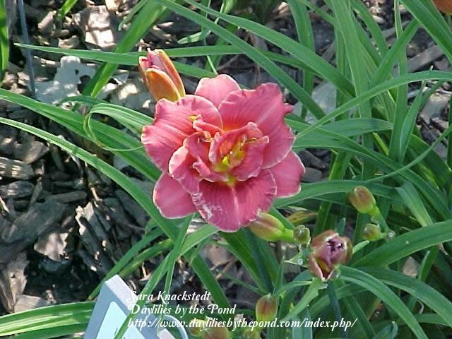 Photo of Daylily (Hemerocallis 'Iddy Biddy Gal') uploaded by Joy