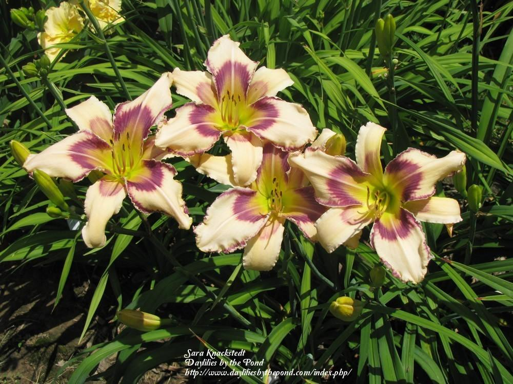 Photo of Daylily (Hemerocallis 'Julie Newmar') uploaded by Joy