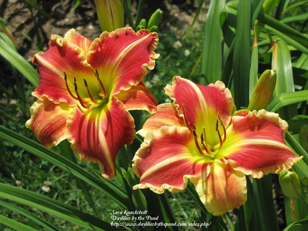 Photo of Daylily (Hemerocallis 'Chili Spice') uploaded by Joy