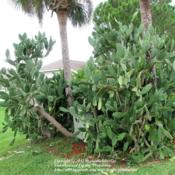 Location: Daytona Beach, FloridaDate: 2012-08-25 Massive plant I see in the neighborhood during my morni
