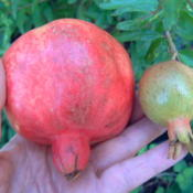 Date: 2012-08-26The photo is a comparison in a normal pomegranate (left