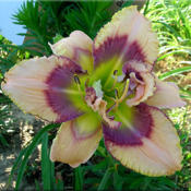 Date: 2012-03-19Courtesy of Quarles Daylilies Used with Permission